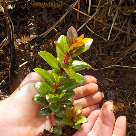 Planting ʻOhiʻa